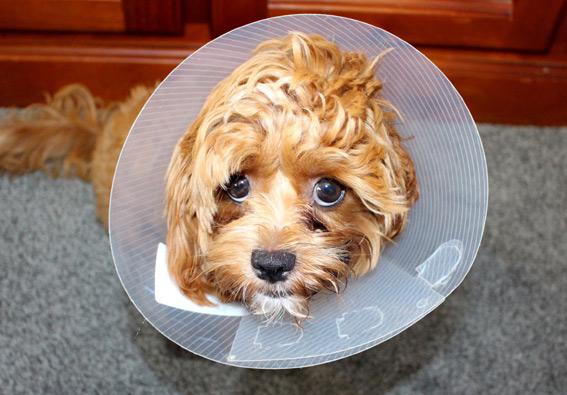 cone-dog